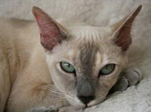 Бесплатные объявления о выставке-продаже породистых котят